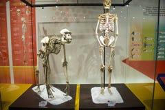 Asia museo de China, Tianjin de la historia natural, esquelético imagenes de archivo