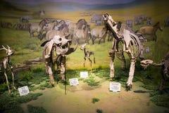Asia museo de la historia natural, esqueleto completo de China, Tianjin fotografía de archivo