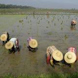 ASIA MYANMAR NYAUNGSHWE RICE FIELD Stock Image