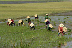 ASIA MYANMAR NYAUNGSHWE RICE FIELD Royalty Free Stock Images