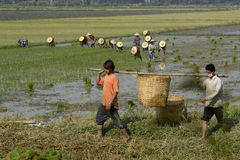ASIA MYANMAR NYAUNGSHWE RICE FIELD Royalty Free Stock Photography