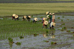 ASIA MYANMAR NYAUNGSHWE RICE FIELD Stock Photography