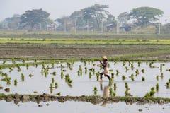 ASIA MYANMAR NYAUNGSHWE RICE FIELD Royalty Free Stock Photo