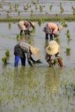 ASIA MYANMAR NYAUNGSHWE RICE FIELD Royalty Free Stock Images