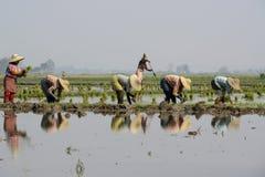 ASIA MYANMAR NYAUNGSHWE RICE FIELD Royalty Free Stock Image