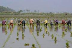 ASIA MYANMAR NYAUNGSHWE RICE FIELD Stock Photos