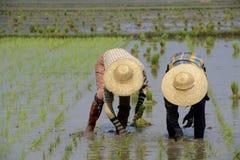 ASIA MYANMAR NYAUNGSHWE RICE FIELD Royalty Free Stock Photos