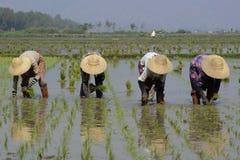 ASIA MYANMAR NYAUNGSHWE RICE FIELD Stock Photo