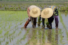 ASIA MYANMAR NYAUNGSHWE RICE FIELD Stock Photo