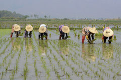 ASIA MYANMAR NYAUNGSHWE RICE FIELD Royalty Free Stock Photos