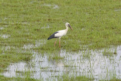Asia Openbill Stork in a wetland Stock Photography