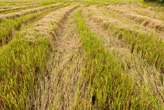 Asia paddy field. Abstract background of paddy field Stock Images