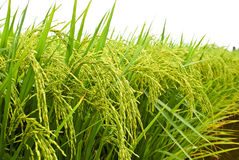 Free Asia Paddy Field Series 1 Stock Image - 9330441