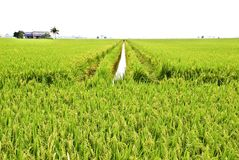 Asia Paddy Field Series 4 Royalty Free Stock Image