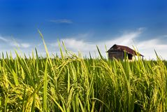 Asia Paddy Field Series 7 Royalty Free Stock Photos