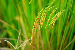 Asia paddy rice Stock Photos