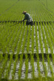ASIA RICE AGRICULTURE Royalty Free Stock Image