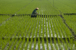 ASIA RICE AGRICULTURE Royalty Free Stock Photography