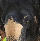 asia słoń Obraz Stock