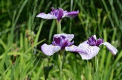 asia siberian sibirica för central Eastern Europe iriskiev infödd nordlig växt som är teremky till ukraine trä Royaltyfri Bild