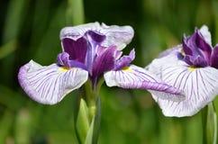 asia siberian sibirica för central Eastern Europe iriskiev infödd nordlig växt som är teremky till ukraine trä Fotografering för Bildbyråer