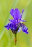 asia siberian sibirica för central Eastern Europe iriskiev infödd nordlig växt som är teremky till ukraine trä Arkivbild