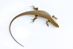 Asia Skink lizard Royalty Free Stock Photos