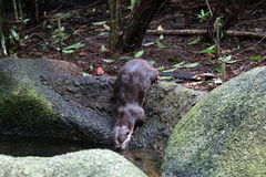 Asia Small Clawed Otter 2. An Asia Small Clawed Otter drinking from a stream Stock Image