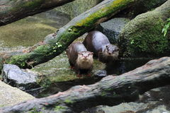 Asia Small Clawed Otter 1. A pair of Asia small clawed otters at a small water stream Stock Image