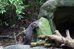 Asia Small Clawed Otter 4. Asia Small Clawed otter scratching its body against a rock Stock Images