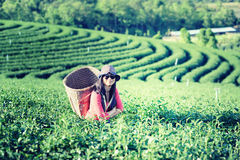 Asia tea women picking tea leaves in plantation Royalty Free Stock Photography