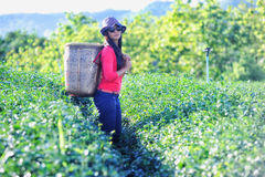 Asia tea women picking tea leaves in plantation Royalty Free Stock Photo