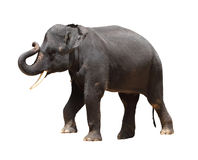 Asia Thai elephant isolated Royalty Free Stock Images