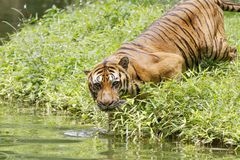 Asia tiger Royalty Free Stock Photos