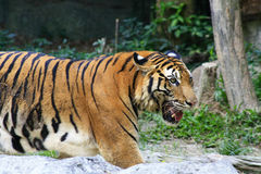 Asia tiger Stock Photos