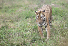Asia tiger running in the grassland Royalty Free Stock Photos