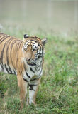 Asia tiger running in the grassland Royalty Free Stock Photo