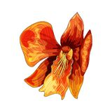 Tropical orchid, red flower with orange and yellow veins on white background. Asia tropical orchid, red flower with orange and yellow veins on white background stock illustration