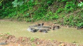 Asia water buffalo in pond, Bubalus bubalis Stock Image