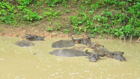 Asia water buffalo in pond, Bubalus bubalis Royalty Free Stock Photos