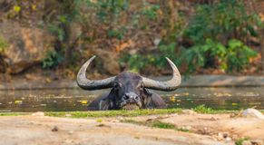 Asia water buffalo soak in the pond Royalty Free Stock Photos