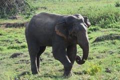 Asia Wild Elephant sri lanka. The Sri Lankan elephant Elephas maximus maximus is one of three recognized subspecies of the Asian elephant, and native to Sri stock photography