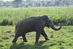 Asia Wild Elephant sri lanka. The Sri Lankan elephant Elephas maximus maximus is one of three recognized subspecies of the Asian elephant, and native to Sri royalty free stock photography