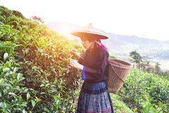 Asia women were picking tea leaves Stock Photography