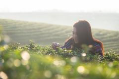 Asia worker farmer women were picking tea leaves for traditions in the sunrise morning at tea plantation nature. Lifestyle Concept Royalty Free Stock Image