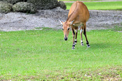 Asian Antelope Stock Photo