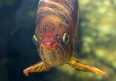 The Asian arowana. Stock Image