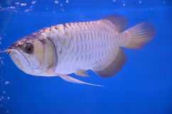 Asian arowana Royalty Free Stock Images