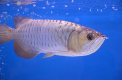 Asian arowana Royalty Free Stock Photos