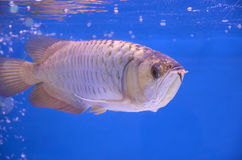 Asian arowana Stock Photos